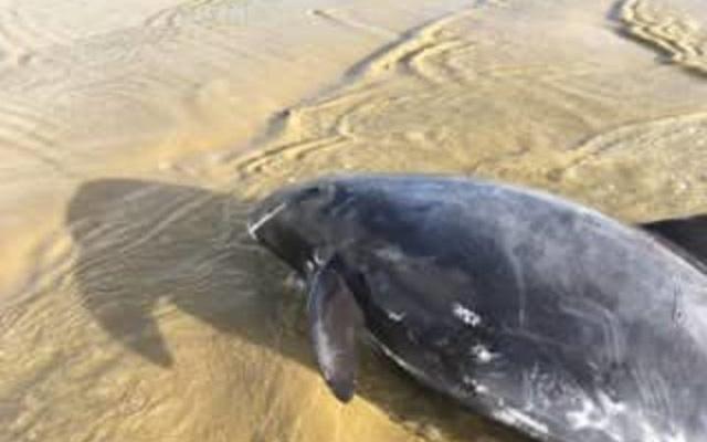 Bất thường 145 con cá voi lao lên bờ nằm chết - Ảnh 2.