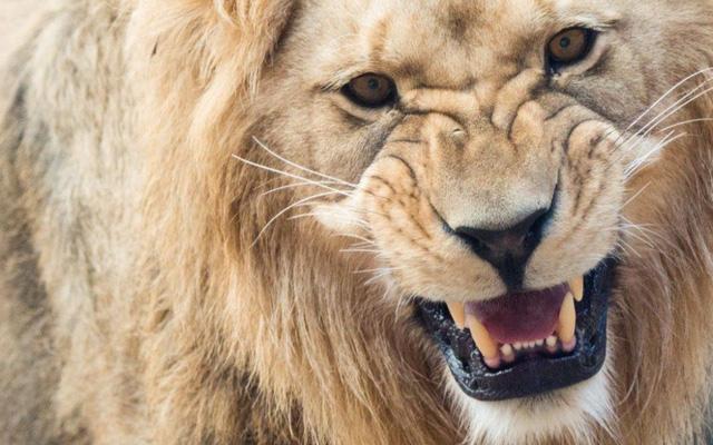 6 người Việt bị bắt giữ tại Nam Phi vì tính nấu cao sư tử - Ảnh 1.