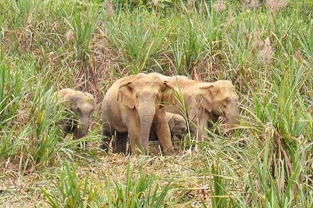 Bốn con voi rừng xuất hiện ở Anh Sơn, Nghệ An - Ảnh 1.