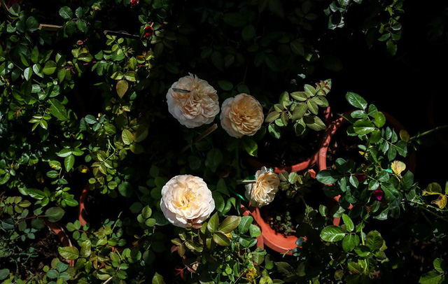 Hơn 200 giống hoa hồng ngoại phục vụ Tết 2019 - Ảnh 1.