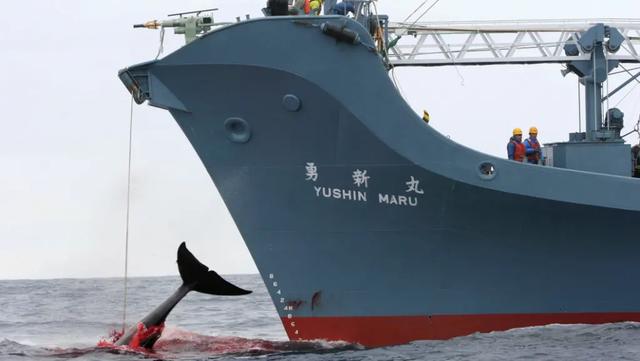 Nhật nối lại hoạt động đánh bắt cá voi thương mại - Ảnh 1.
