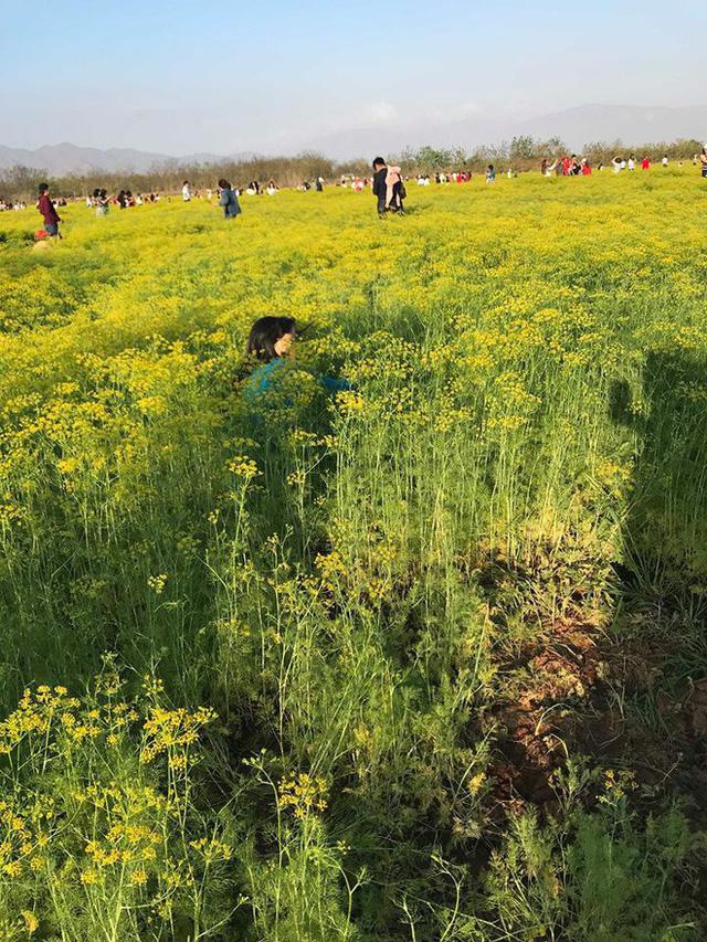 Cánh đồng hoa Ninh Thuận đóng cửa vì bị du khách dẫm nát - Ảnh 7.
