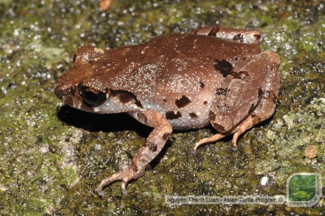Phát hiện loài ếch mới ở bán đảo Sơn Trà - Ảnh 1.