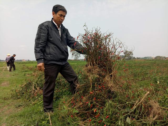 Nghi án phun thuốc diệt cỏ hủy hoại ruộng ớt của nông dân - Ảnh 2.