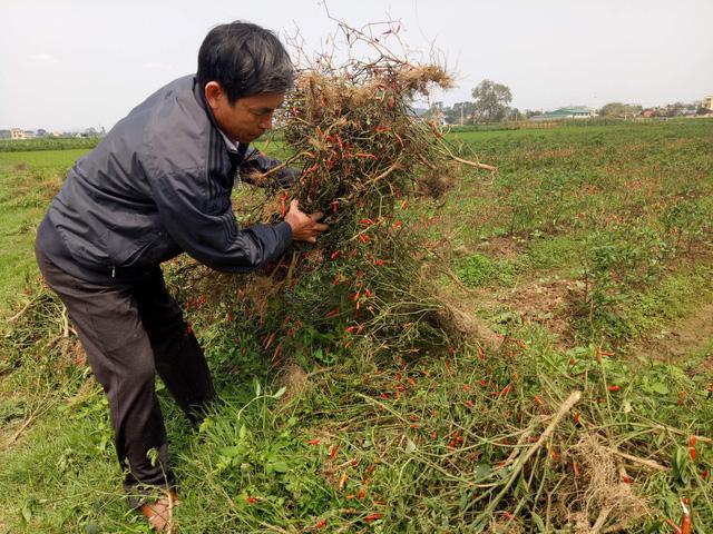 Nghi án phun thuốc diệt cỏ hủy hoại ruộng ớt của nông dân - Ảnh 1.