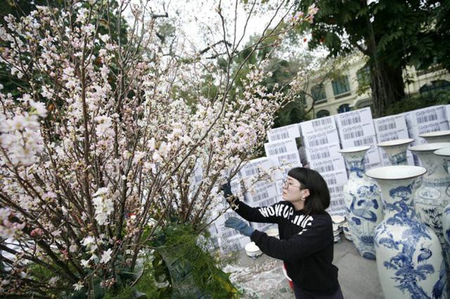 10.000 cành hoa anh đào phục vụ khách tham quan tại Hà Nội - Ảnh 1.