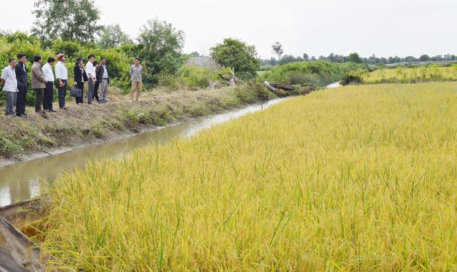 Trồng lúa đỏ ở Đồng chó ngáp - Ảnh 1.