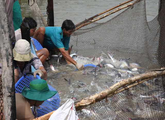 Miền Tây có gần 600 tỉ đồng sản xuất cá tra giống - Ảnh 1.