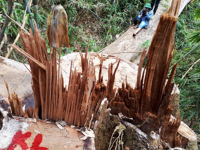 Cận cảnh rừng lim xanh bị lâm tặc xẻ thịt - Ảnh 4.