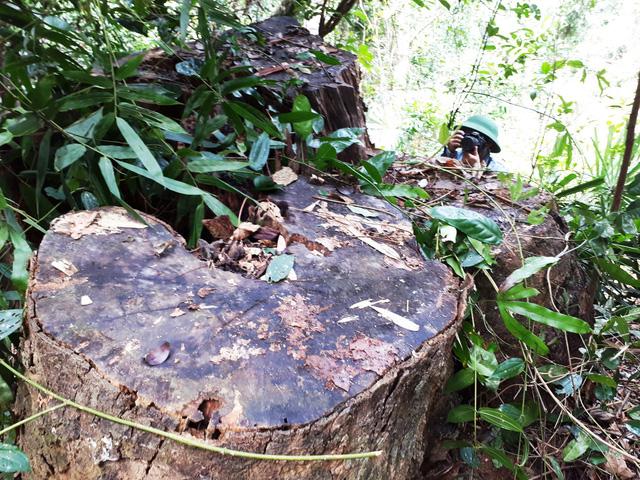 Cận cảnh rừng lim xanh bị lâm tặc xẻ thịt - Ảnh 12.