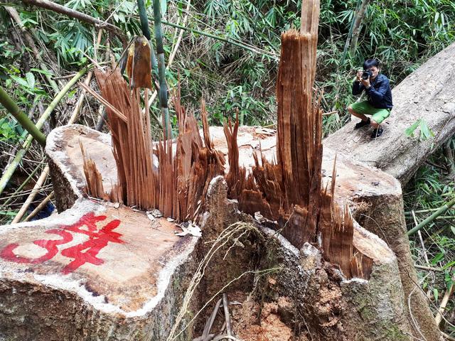 Cận cảnh rừng lim xanh bị lâm tặc xẻ thịt - Ảnh 1.
