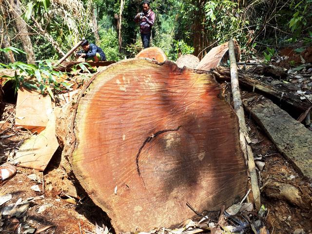 Cận cảnh rừng lim xanh bị lâm tặc xẻ thịt - Ảnh 3.