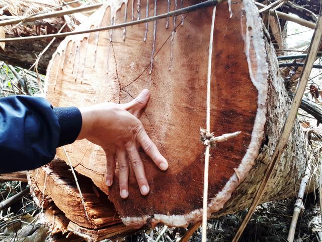 Cận cảnh rừng lim xanh bị lâm tặc xẻ thịt - Ảnh 6.