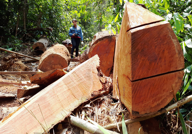 Cận cảnh rừng lim xanh bị lâm tặc xẻ thịt - Ảnh 7.