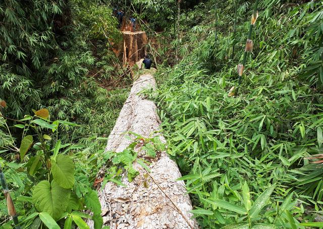 Cận cảnh rừng lim xanh bị lâm tặc xẻ thịt - Ảnh 8.