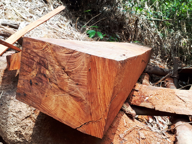 Cận cảnh rừng lim xanh bị lâm tặc xẻ thịt - Ảnh 10.