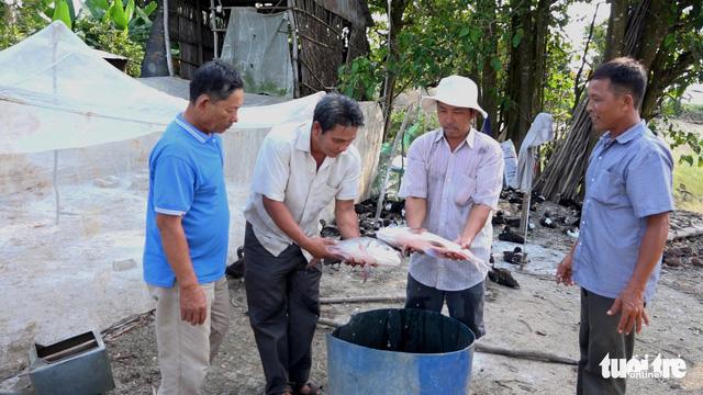Nông dân miền Tây trúng đậm nhờ lén lút nuôi cá hô - Ảnh 2.
