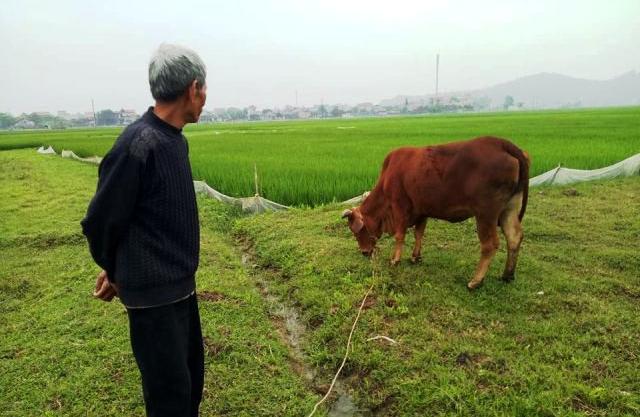 Nông dân thả bò ra đồng gặm cỏ phải đóng thuế - Ảnh 1.