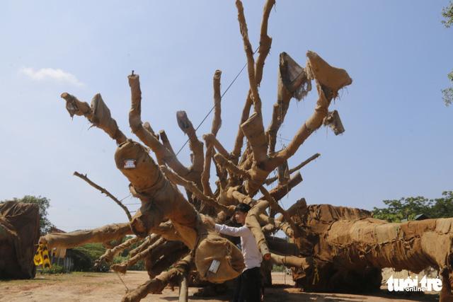 Kiểm lâm Thừa Thiên - Huế thả 2 cây đa sộp siêu khủng - Ảnh 1.