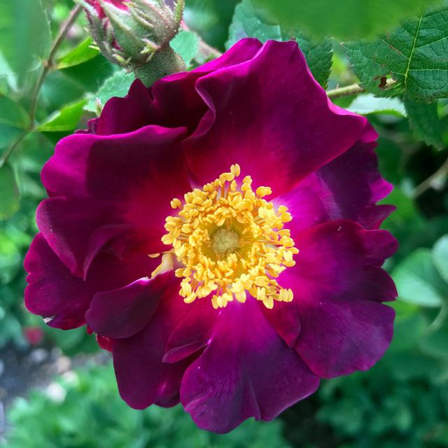 Sắp có hoa hồng không héo, tỏa hương lâu hơn? - Ảnh 1.