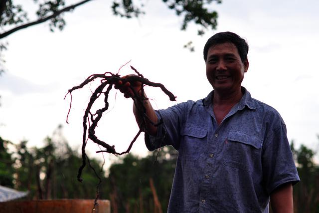 Đồng Nai cảnh báo việc thương lái mua rễ tiêu bán cho Trung Quốc - Ảnh 1.