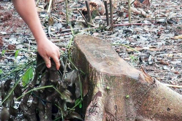 Đồng Nai cảnh báo việc thương lái mua rễ tiêu bán cho Trung Quốc - Ảnh 2.