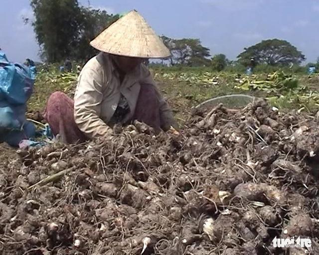 Doanh nghiệp hứa mua khoai môn cho nông dân bằng 40% hợp đồng - Ảnh 1.