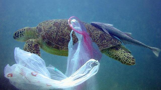 Nhiều rác thải nhựa trong dạ dày một con rùa xanh tại Thái Lan - Ảnh 1.