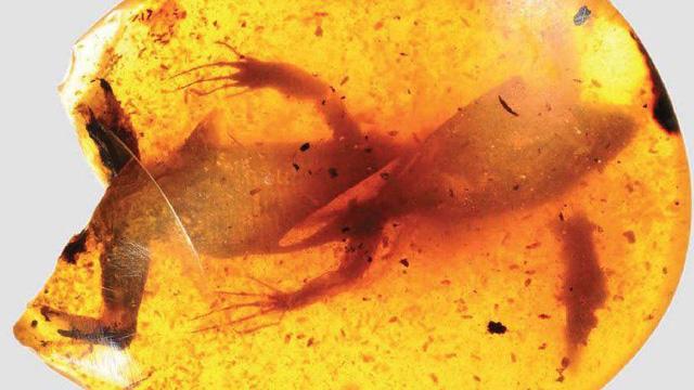 Ếch thời tiền sử lộ diện trong hổ phách 99 triệu năm - Ảnh 1.