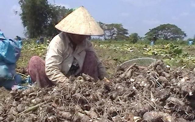 Người trồng khoai môn điêu đứng vì đối tác Trung Quốc xù hợp đồng - Ảnh 1.