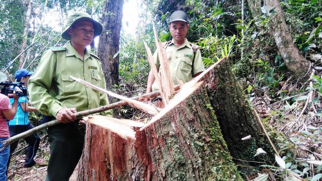 Xét xử 21 bị cáo trong vụ phá rừng pơ mu ở Quảng Nam - Ảnh 4.