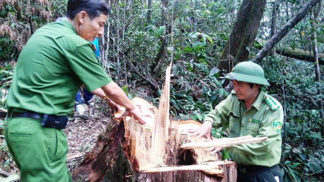 Xét xử 21 bị cáo trong vụ phá rừng pơ mu ở Quảng Nam - Ảnh 5.