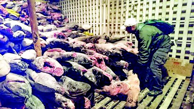 Lạ lùng nghề đánh bắt cá mập ở Chile - Ảnh 2.