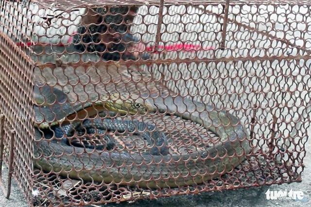 Mua rắn làm mồi nhậu, phát hiện hổ mang chúa nên giao kiểm lâm thả về rừng - Ảnh 2.