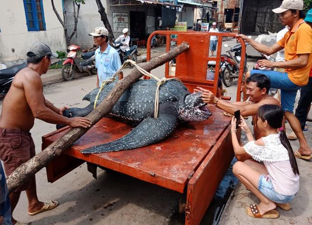 Rùa quý hiếm nặng trên 150kg chết ngạt vì dính lưới giã cào - Ảnh 1.