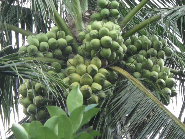 Triển lãm giống ổi có trái giá chỉ 50.000đồng/cây. - Ảnh 1.