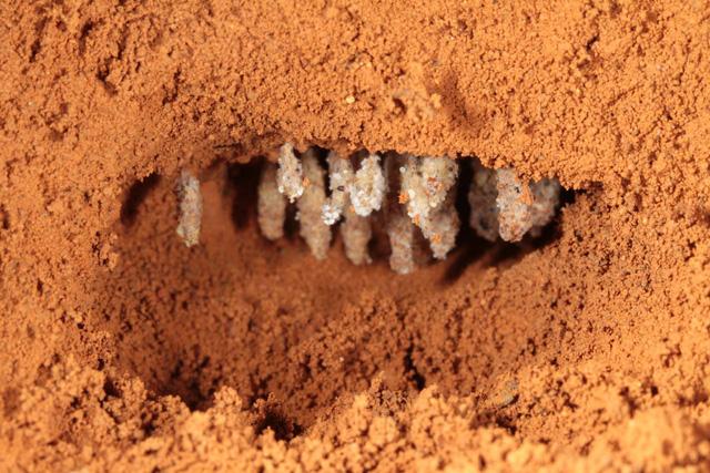 Phát hiện loài kiến gây hiệu ứng nhà kính không thua con người - Ảnh 2.