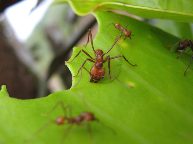 Phát hiện loài kiến gây hiệu ứng nhà kính không thua con người - Ảnh 1.