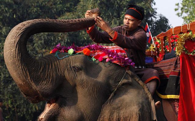 Bất ngờ khi Lào, đất nước triệu voi chỉ còn chưa tới 1.000 voi  - Ảnh 1.