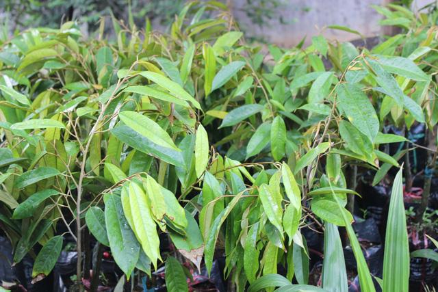 Cảnh báo nông dân không trồng giống sầu riêng lạ - Ảnh 1.