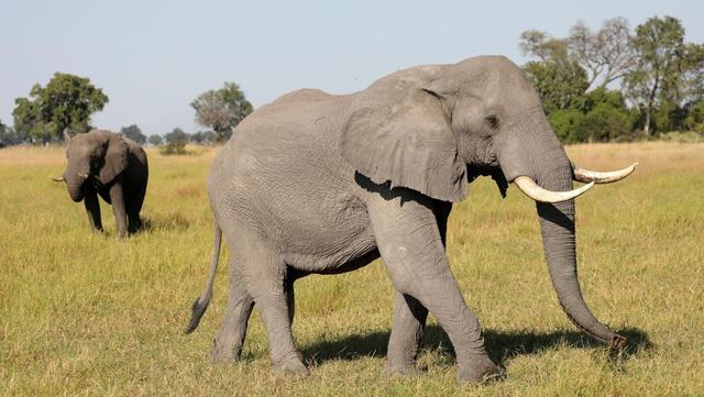 Hơn 100 con voi chết ở Botswana nghi do nhiễm bệnh than - Ảnh 1.