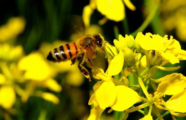 Pháp cấm 2 loại thuốc trừ sâu của Mỹ do gây hại cho loài ong - Ảnh 1.