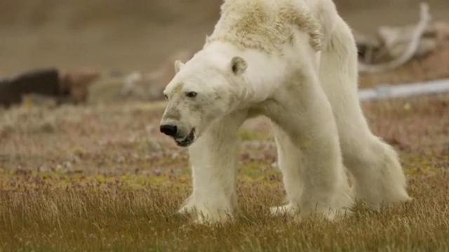 Gấu đói, kéo bầy lục tìm thức ăn như chó hoang - Ảnh 2.