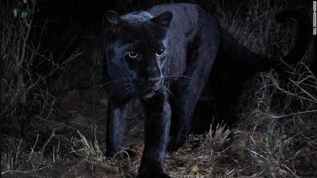 Bức ảnh đầu tiên về loài báo đen châu Phi huyền thoại sau 100 năm - Ảnh 1.