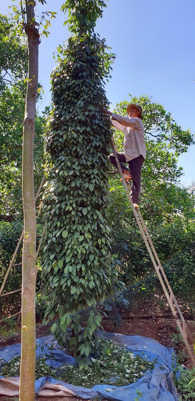 Huy động nhân lực hái hồ tiêu giúp nông dân - Ảnh 2.