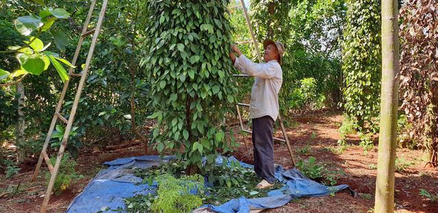 Huy động nhân lực hái hồ tiêu giúp nông dân - Ảnh 1.