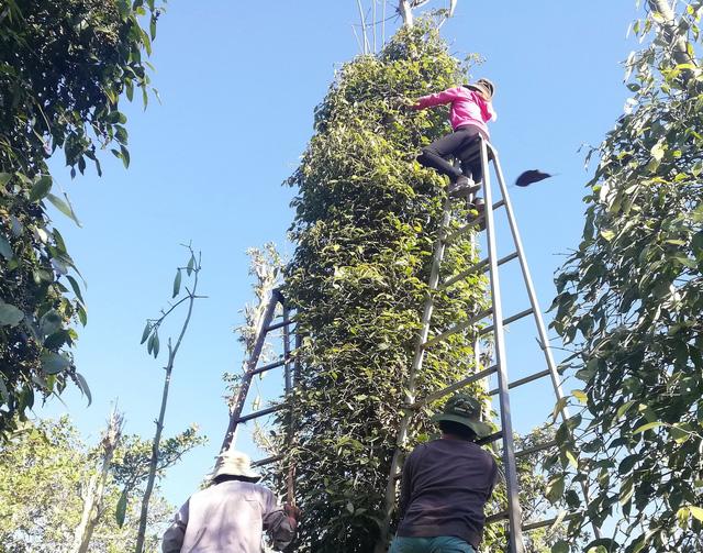 Cùng nhau ra vườn hái tiêu giúp nông dân - Ảnh 4.