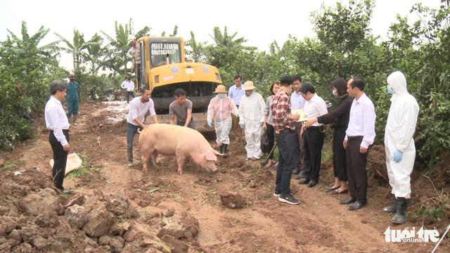 Lợn mắc dịch tả châu Phi không chữa được, buộc phải tiêu hủy - Ảnh 1.
