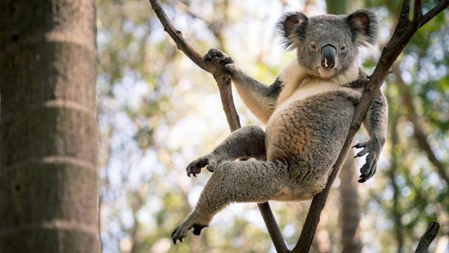 Gấu Koala trở thành 'ngôi sao mạng xã hội' nhờ dáng ngồi sexy - Ảnh 1.