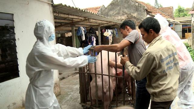 Phát hiện thêm ổ dịch tả lợn châu Phi tại Hải Phòng - Ảnh 1.